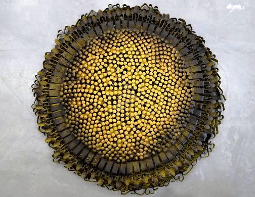 olu amoda sunflower2